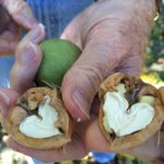 California Walnut Harvest