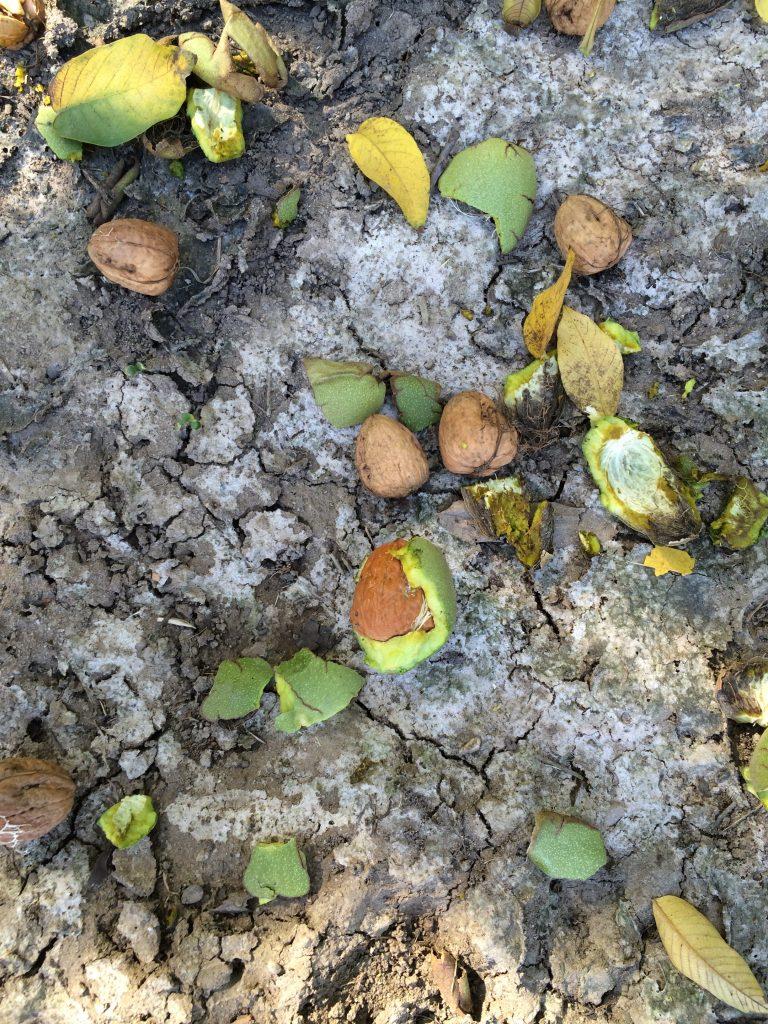 Walnut harvest