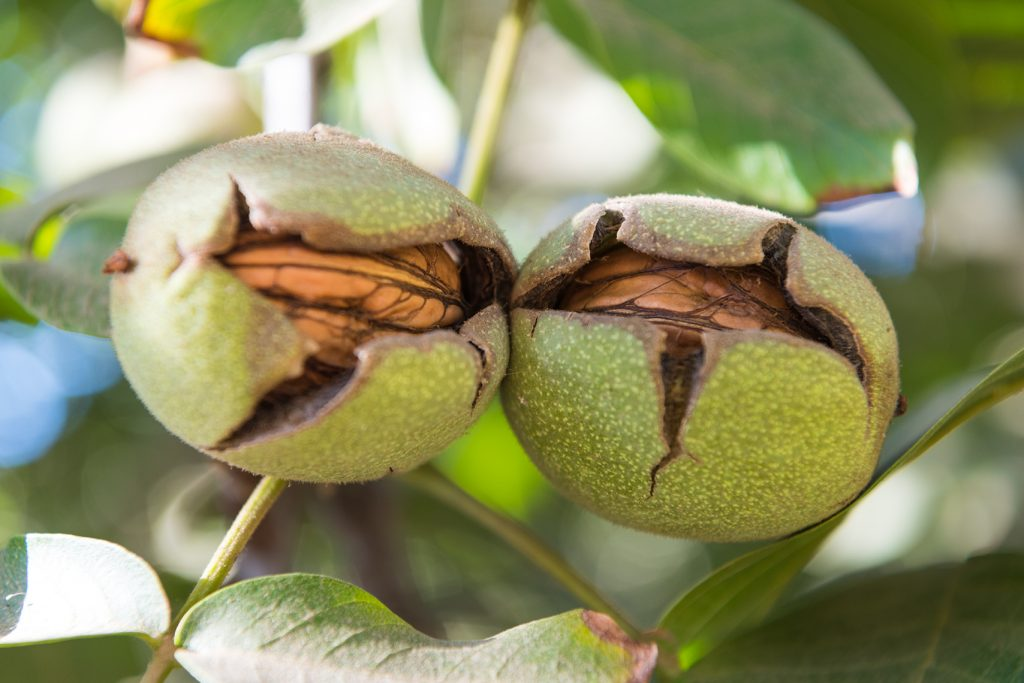 Walnuts with split hulls