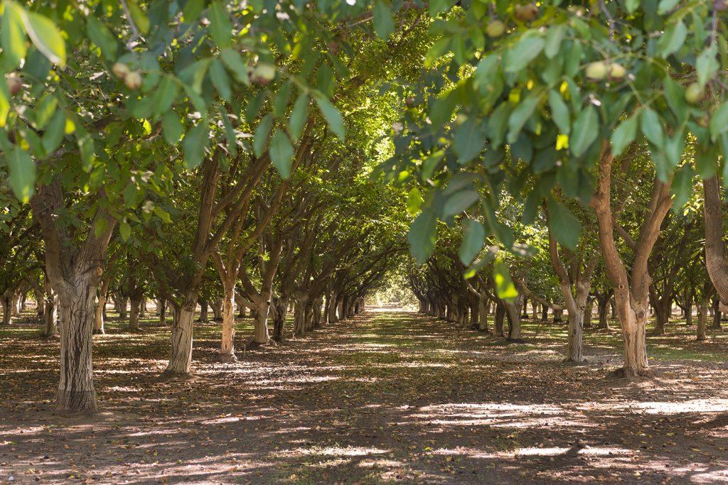 California Walnut Groves